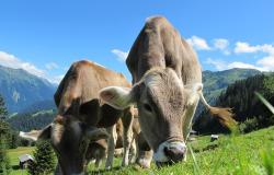cows-cow-203460_640 - Copia